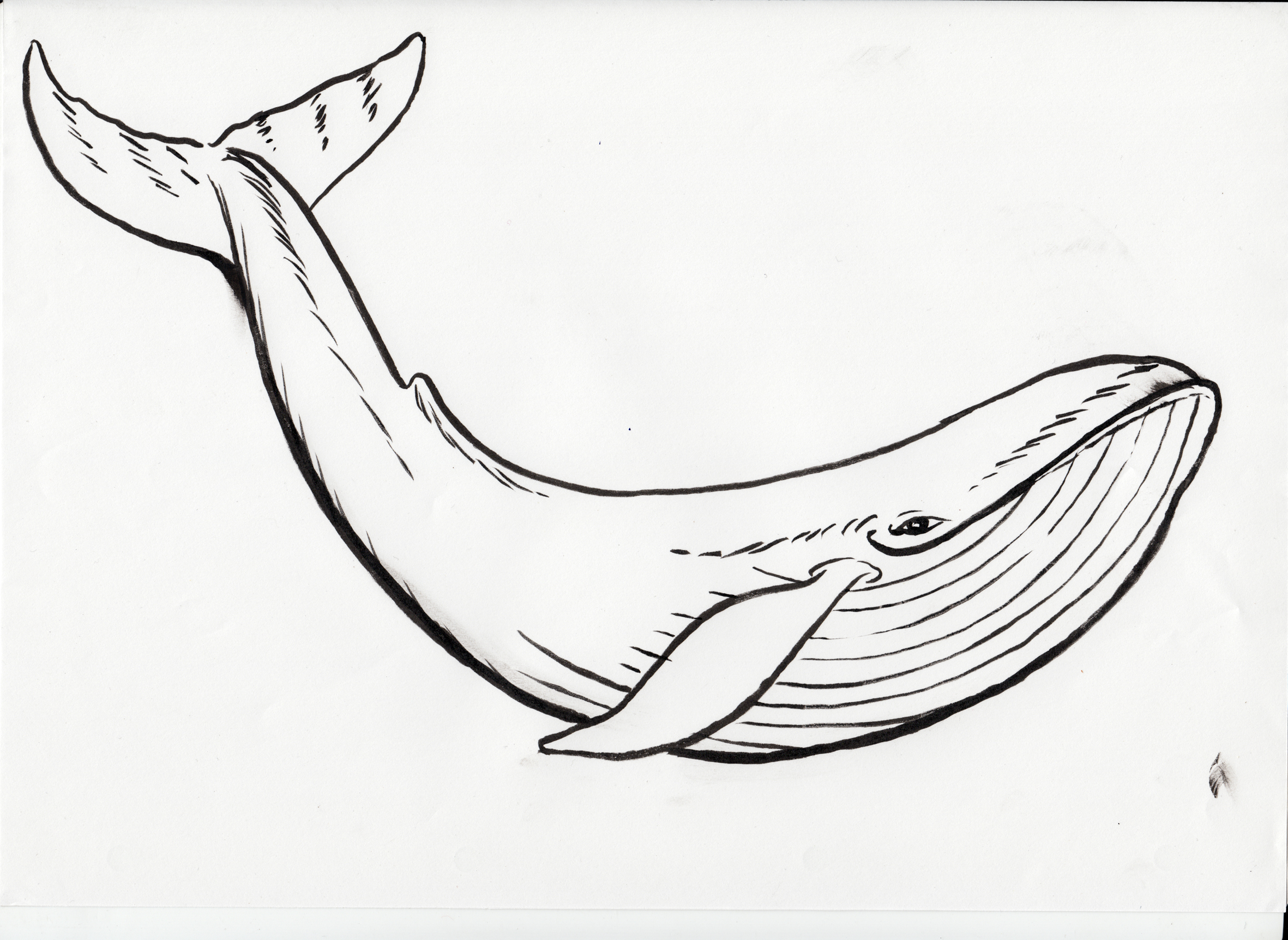 Humpback Whale Line Drawing
